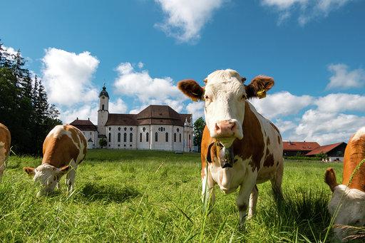 Wieskirche Steingaden mit Kühen